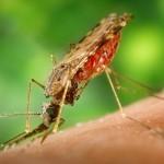 Anopheles Albimanus mosquito